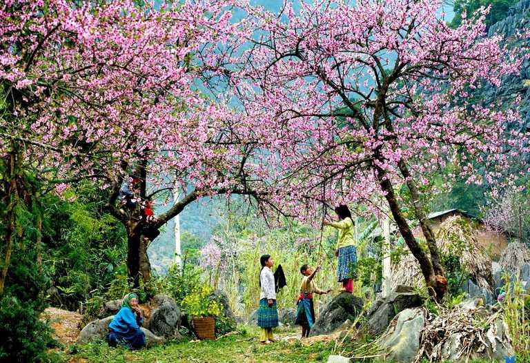 Floraison exubérante sur le plateau karstique de  Dong Van