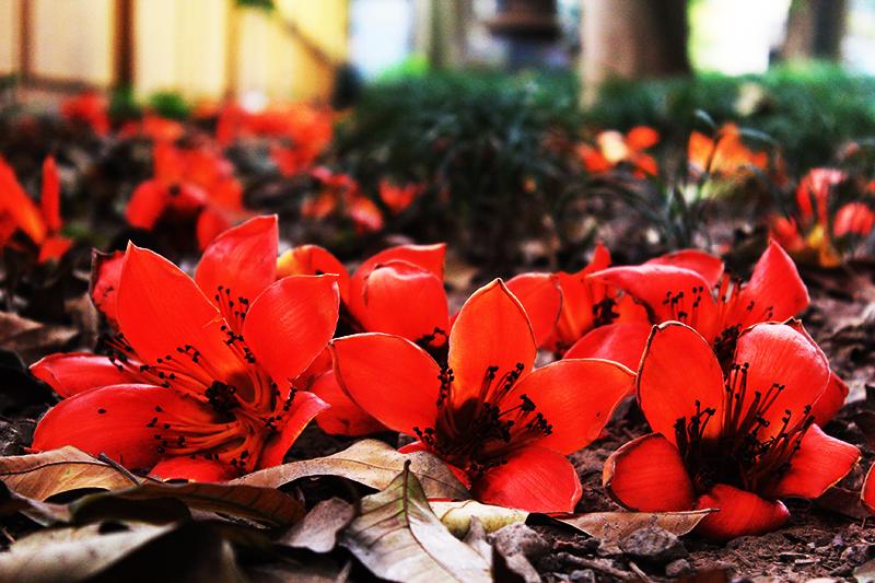 Quand les kapokiers fleurissent dans les rues de Hanoi