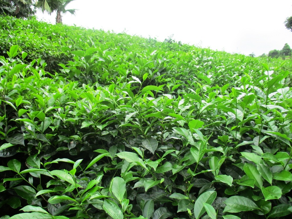 Une usine de thé bio pour l'exportation voit le jour à Ha Giang