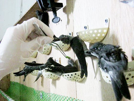 Promotion des exportations de nids de salanganes