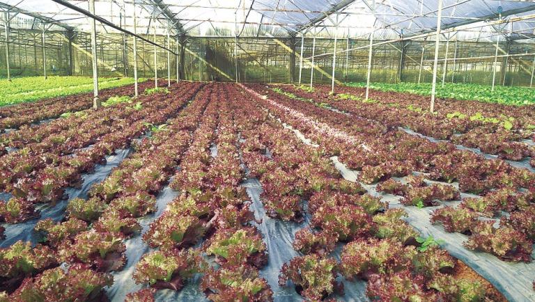 Vietnam - Pays-Bas: Coopération dans le développement de nouvelles variétés de légumes