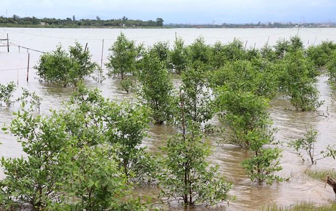 Quang Tri développe les mangroves