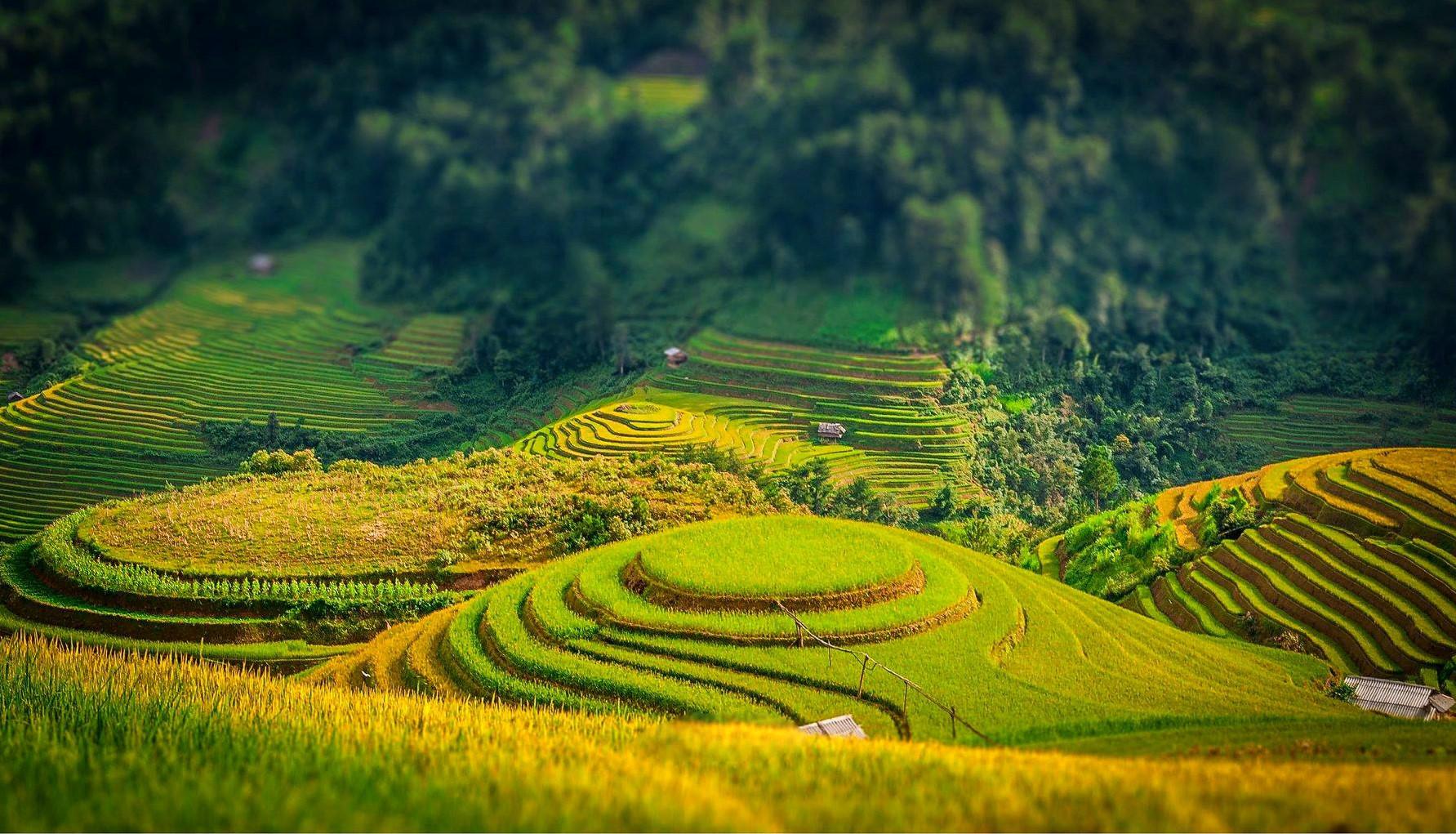 Contempler la beauté du Vietnam à la saison des rizières dorées