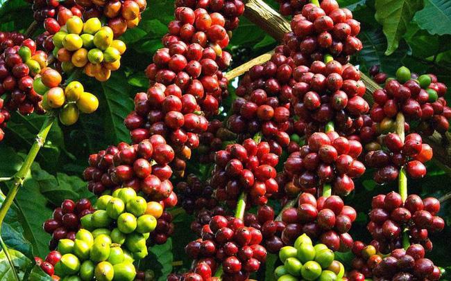 Bond des exportations nationales de café