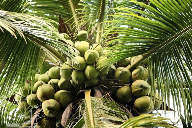 La noix de coco du Vietnam gagne ses galons à l