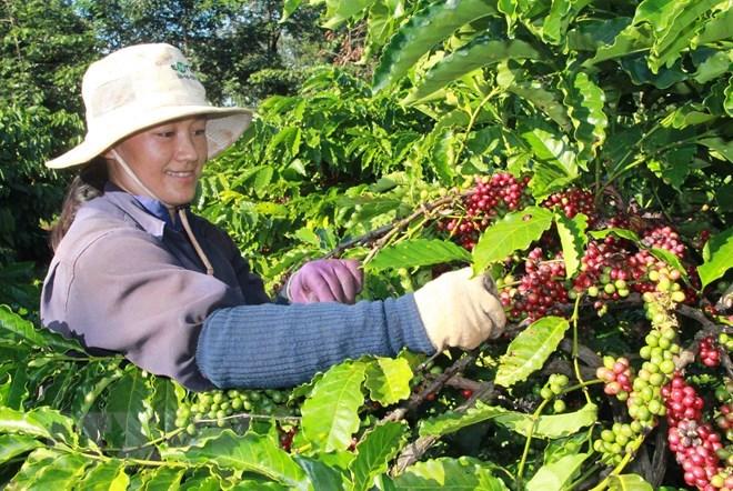 Café: les exportations établissent un record