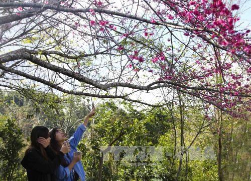Dien Bien: La fête des fleurs de cerisier de retour à Pa Khoang