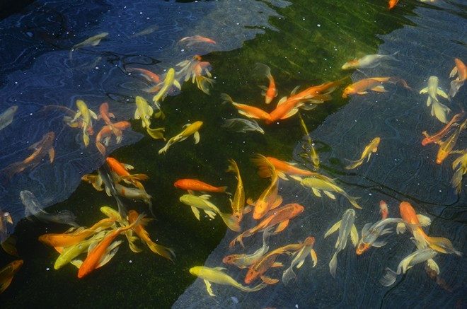 Hô Chi Minh-Ville: bond des exportations de poissons d'aquarium