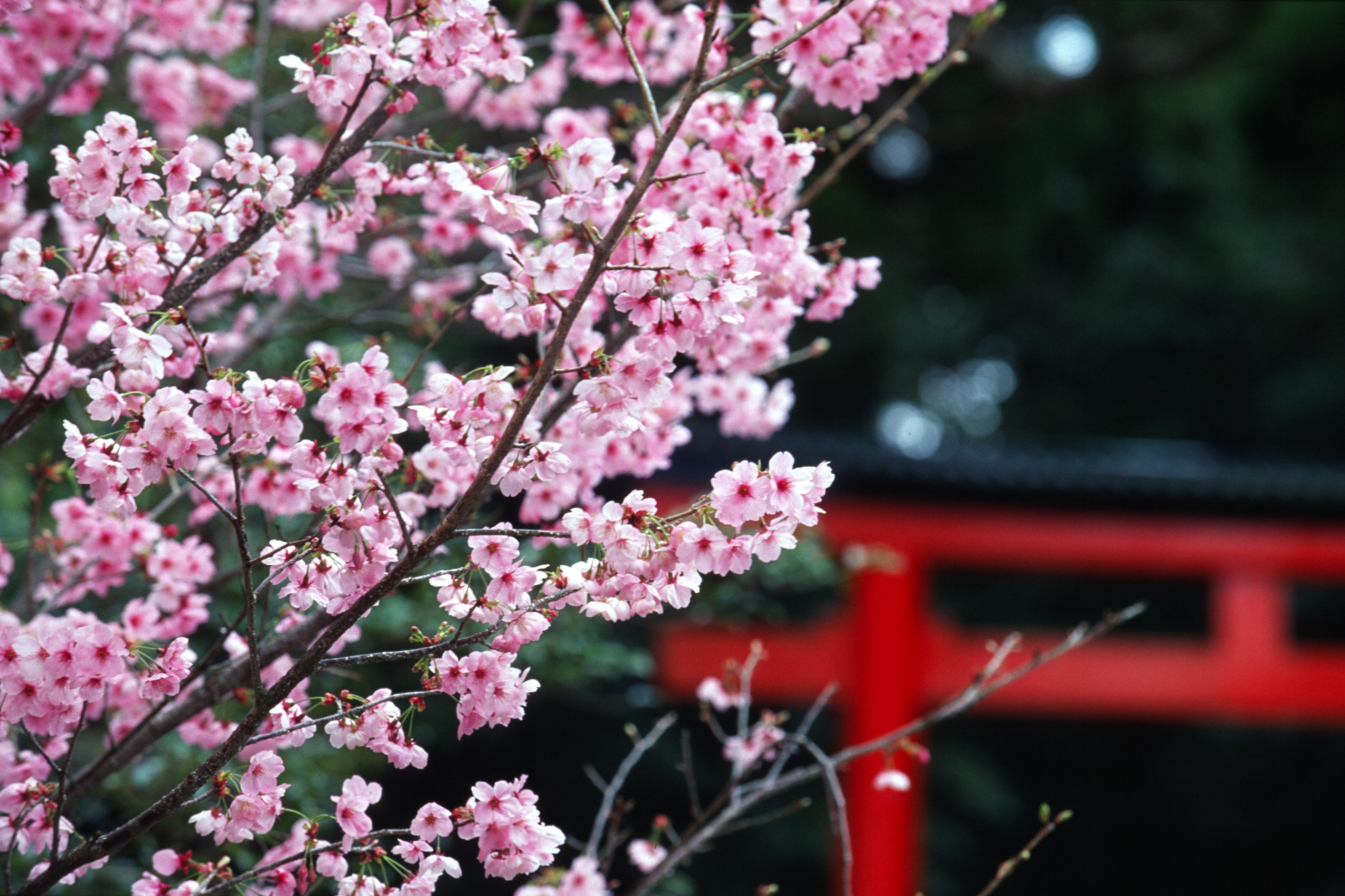 Hanoï : Fête des fleurs de cerisier japonais 2019