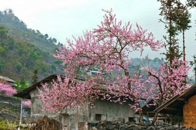Festival des fleurs de pêcher sur le plateau karstique de Dong Van