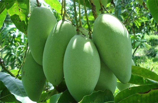 La mangue vietnamienne officiellement autorisée à entrer aux États-Unis
