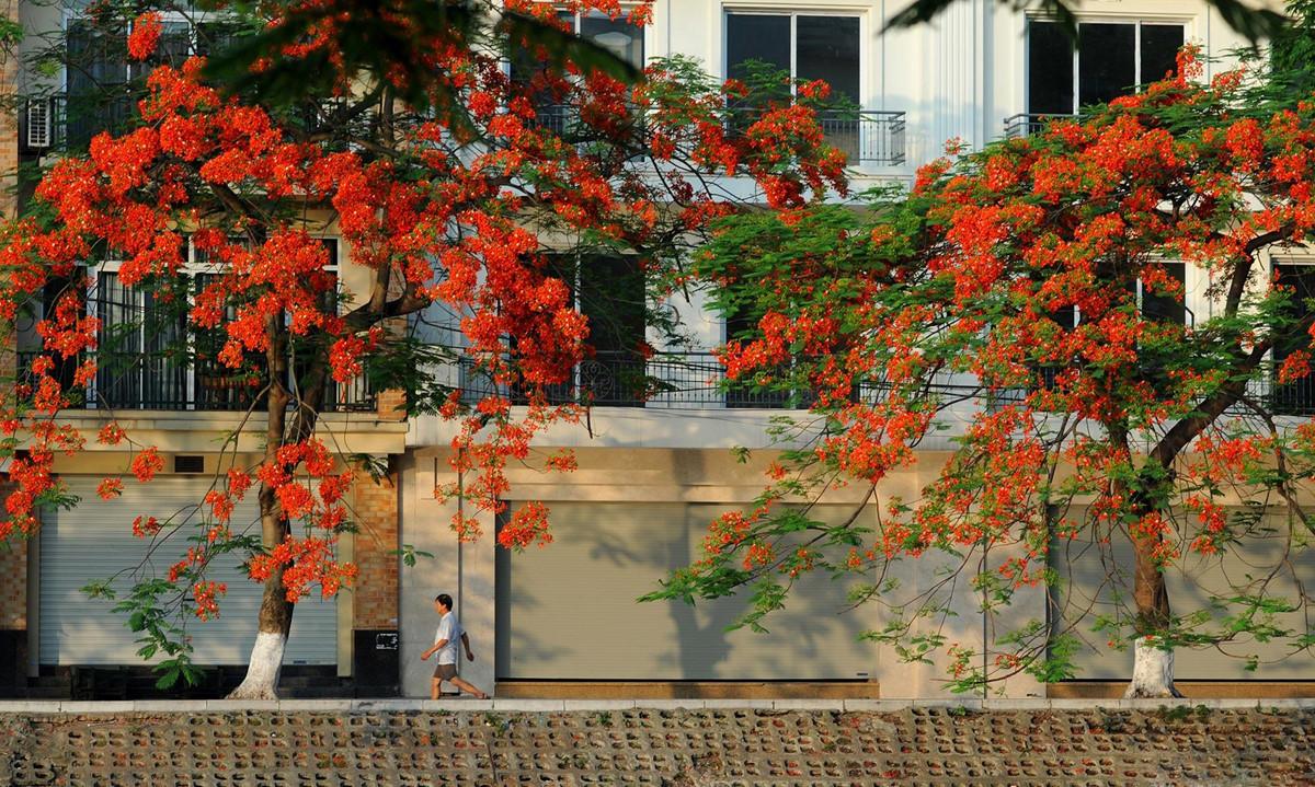 Hanoï l'été: pleine des couleurs de fleurs