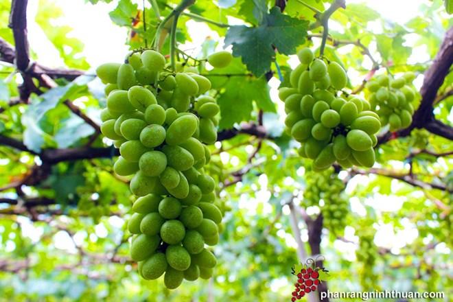 Ninh Thuan accueille 120.000 visiteurs lors du festival du raisin et du vin