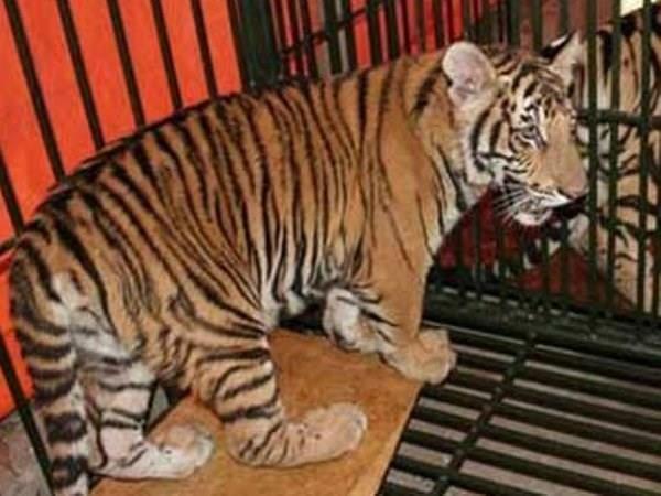 La criminalité liée aux espèces sauvages remet en cause les efforts de conservation du tigre du Vietnam