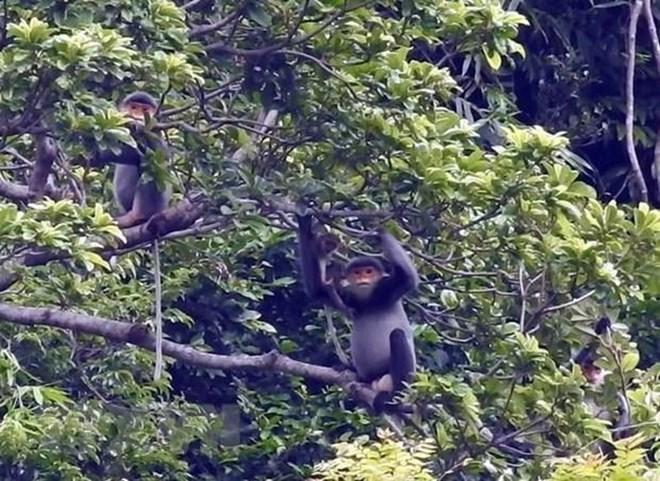Quang Nam créera une zone de protection de primates en voie de disparition
