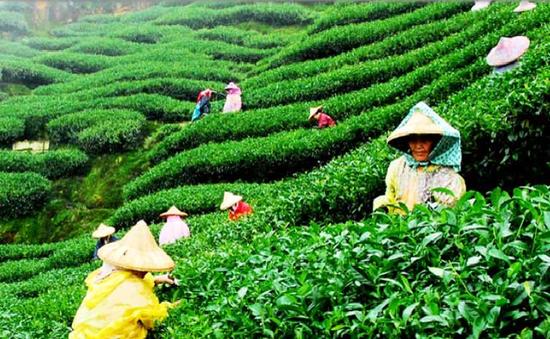 La production de thé du Vietnam au deuxième rang mondial