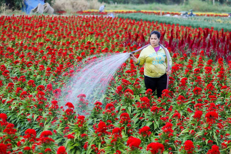 Village de fleurs en banlieue de Saigon avant le Têt