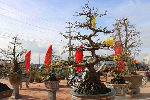 Les villages d'abricotiers de Nhon An à l'approche du Têt