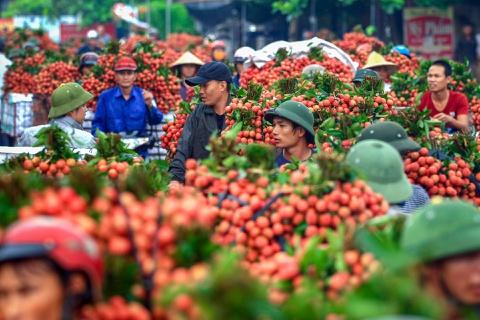 Les premiers lots de litchis vietnamiens arrivent au Japon