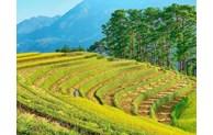 Quatre destinations célèbres du Nord-Ouest pour admirer les rizières dorées
