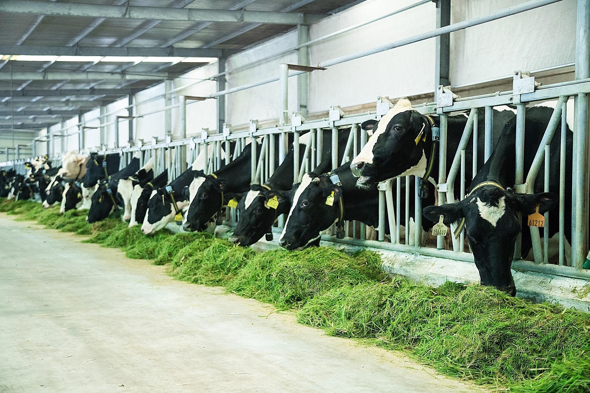 Mise en chantier d'un projet d'élevage laitier de 108 millions de dollars à Kon Tum