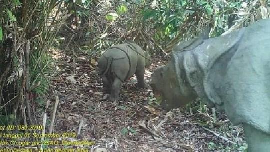 Découverte de deux individus de rhinocéros de Java en Indonésie