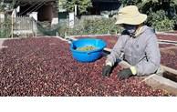 La Pologne augmente ses importations de café vietnamien