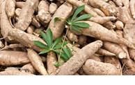 Forte hausse des exportations de manioc et produits dérivés