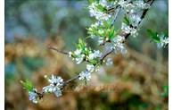 Dien Bien à la saison de floraison des pruniers
