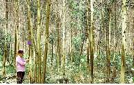 Quang Tri multipliera par quatre la superficie forestière certifiée FSC