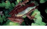Trois nouvelles espèces de rainettes découvertes au Vietnam