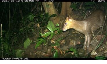Découverte du muntjac considéré comme éteint dans la réserve naturelle de Phong Dien