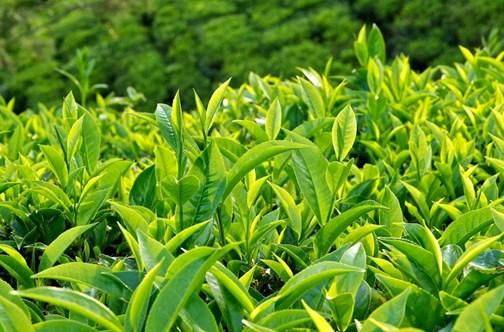 1er semestre: près de 95 millions USD d'exportations de thé