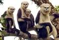Efforts pour conserver une espèce de primate rare à Ha Giang