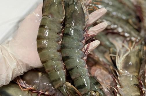 Les exportations de crevettes tigrées vers l