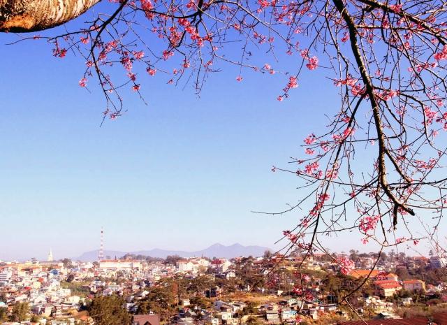 第一次大叻樱花节将于2017年1月中旬举行
