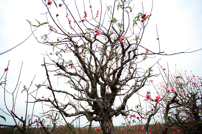 贯穿两个世纪的河内桃花园的美丽景象