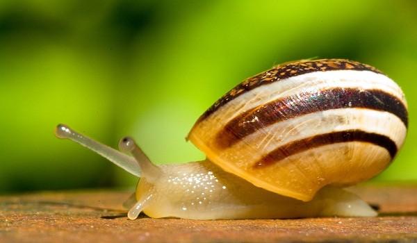 研究发现钉螺可长途迁移并沿途传播血吸虫病