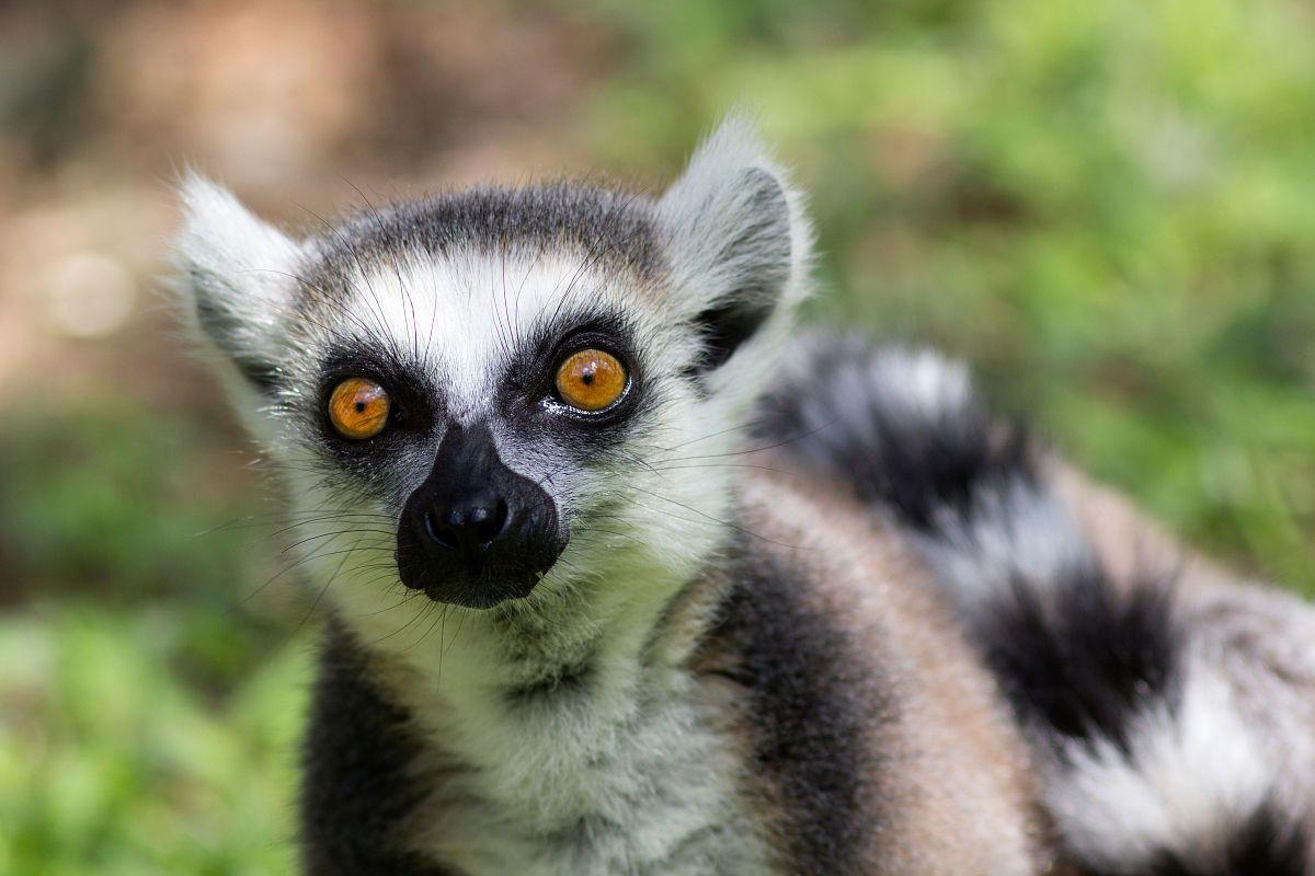 气候变化可能威胁大竹狐猴生存