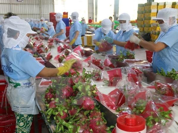 新年伊始越南通过老街口岸向中国出口一千五百吨火龙果