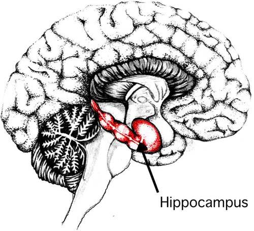 新研究说大脑中海马体也参与情绪调节