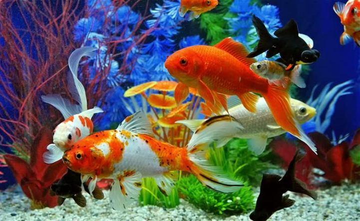 2018年胡志明市观赏鱼出口额达逾2000万美元