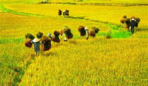 第三届越南稻米节即将举行