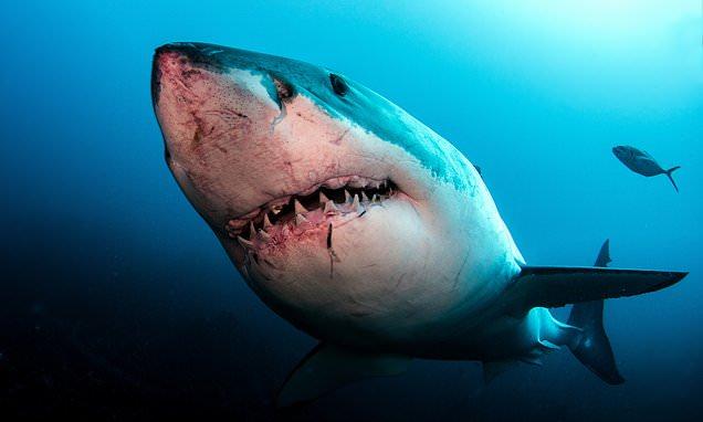 大白鲨全基因组破译 发现抗癌进化机制