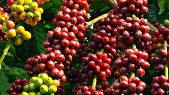 发展特产咖啡  提高越南咖啡价值