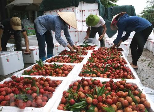 越南1.3万吨新鲜荔枝通过谅山省新青口岸出口中国