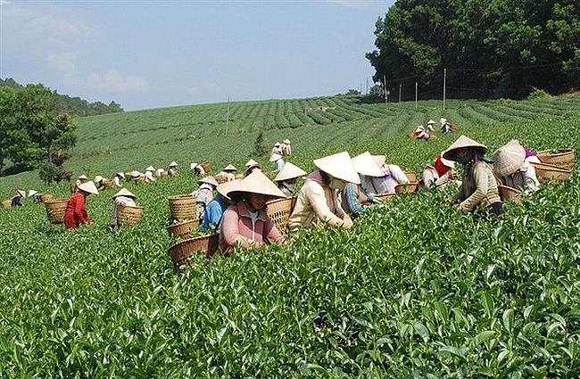 越南对中国的茶叶出口均价大涨