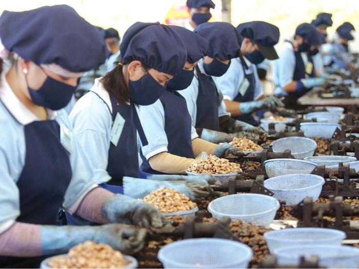 越南对中国腰果出口猛增