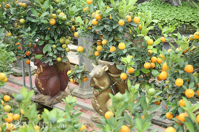 越南人春节赏橘文化