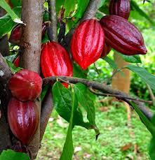 巴地-头顿省恢复可可种植业  征服挑剔市场